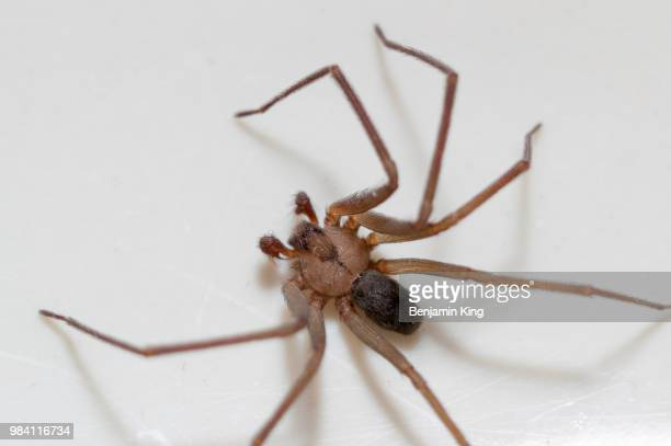 brown recluse spider - brown recluse spider stock pictures, royalty-free photos & images