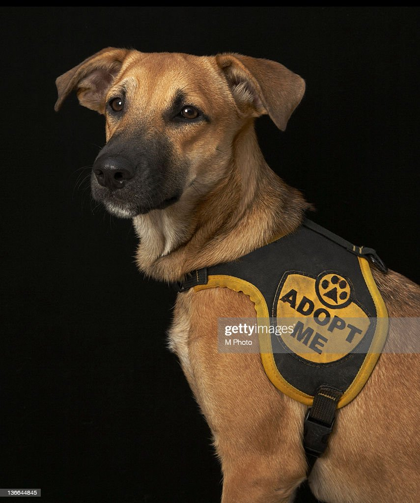 Brown rescue dog with adopt me vest. : Stock Photo