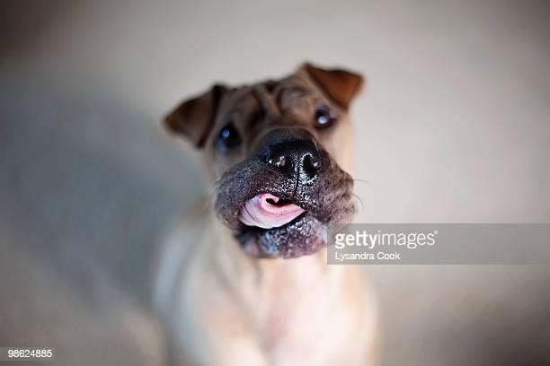 Brown Sharpei dog