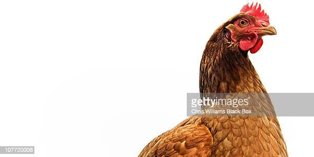 brown shaver free range hen - chicken stock pictures, royalty-free photos & images