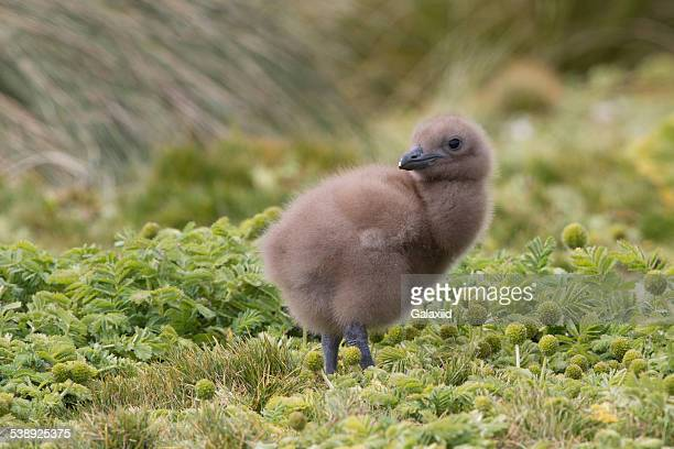 brown skua chick (stercorarius) - sub antarctic islands stock photos and pictures