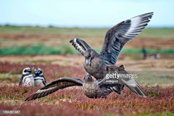 brown skuas mating while magellanic penguins watch - water bird stock pictures, royalty-free photos & images