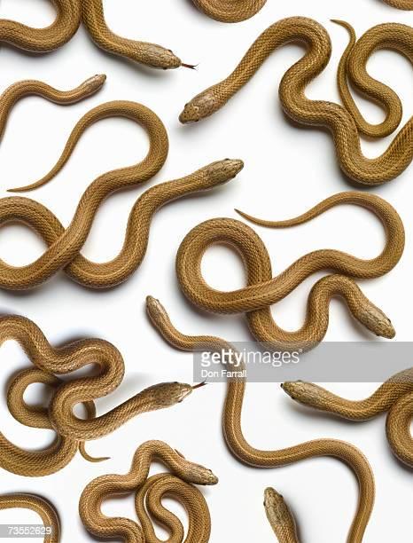 brown snakes (storeria dekayi) overhead view - grande gruppo di animali foto e immagini stock