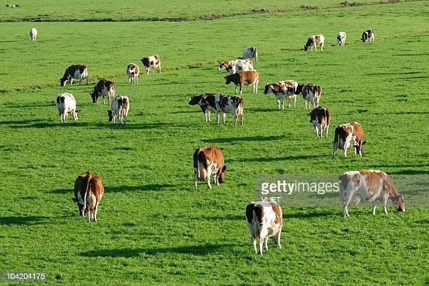 Groupe de vaches dans une prairie