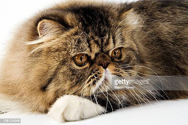 brown spotted persian tabby (felis felidae) studio shot against white background - persian cat stock pictures, royalty-free photos & images