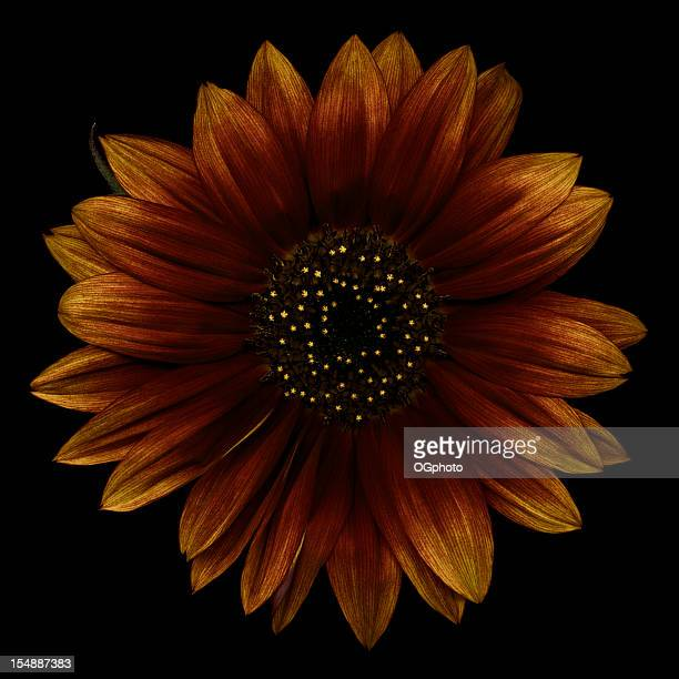 brown sunflower - ogphoto stock pictures, royalty-free photos & images