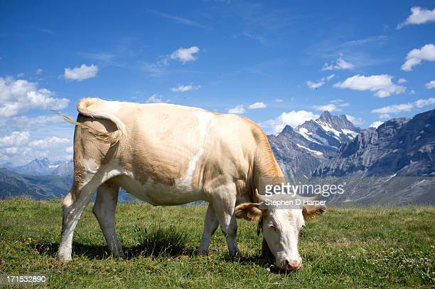Brown Swiss cow with bell