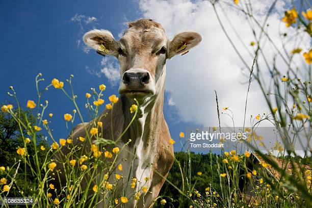 Brown Swiss dairy cows graze on the steep slopes of fields at Janko Arlic's farm at Velenje, Slovenia. Janko and his wife Sonja have farmed 30...