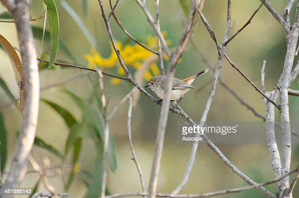 Brown thornbill Acanthiza pusilla in Black wattle Acacia leiocalyx shrubby understorey in these varied and biodiverse woodlands has pale rufous...