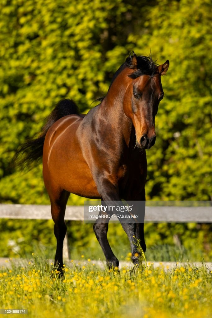 Brown Thoroughbred Arabian Stallion On The Pasture In Spring Tyrol Austria High Res Stock Photo Getty Images