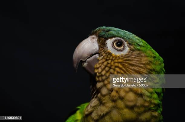 brown - throated parakeet portrait - tucano imagens e fotografias de stock