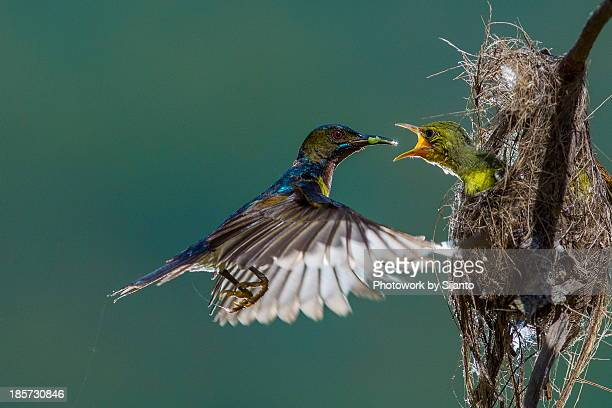 brown throated sunbird - male - young animal stock pictures, royalty-free photos & images