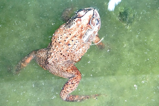 A brown toad in the pond swimming around freely 1131890405