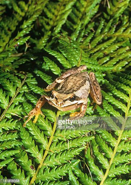 A Brown Tree Frog or Ewing's Tree Frog (Litoria ewingii ) on a tree fern branch. Widespread in Southeast Australia and introduced in New Zealand.