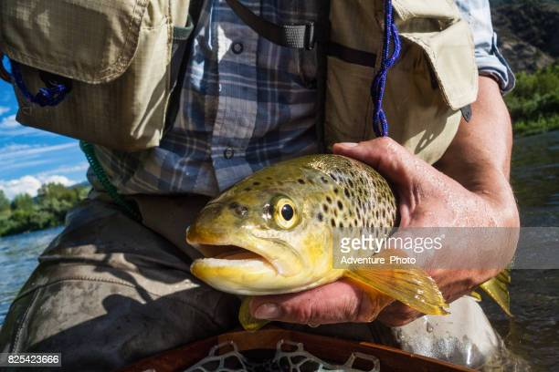 brown trout catch and release fly fishing - brown trout stock pictures, royalty-free photos & images