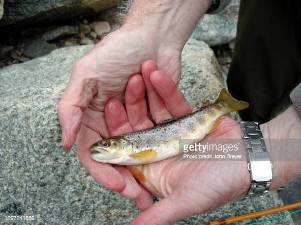 brown trout in fisherman's hands - brown trout stock pictures, royalty-free photos & images
