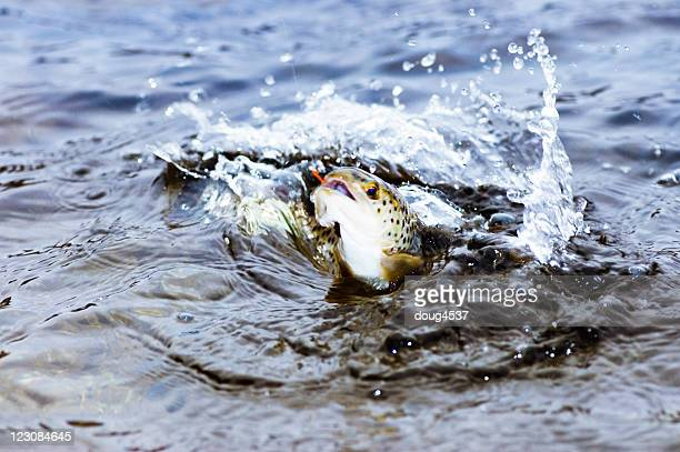 brown trout jumping - brown trout stock pictures, royalty-free photos & images