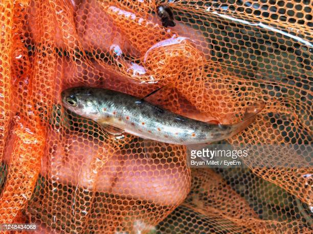 brown trout - brown trout stock pictures, royalty-free photos & images