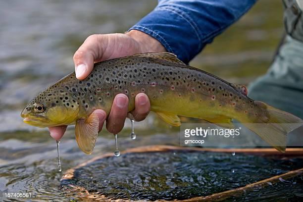 Brown Trout, Salmo trutta