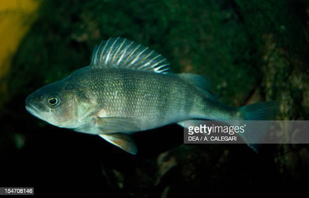 Brown Trout , Salmonidae.