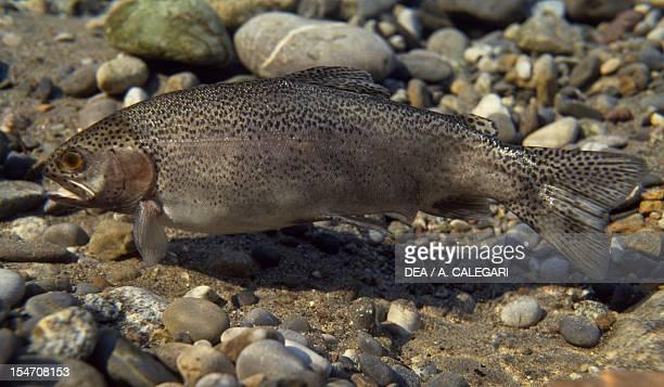 Brown Trout Salmonidae