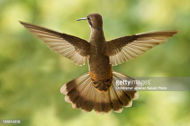 brown violetear - christopher jimenez nature photo stock pictures, royalty-free photos & images