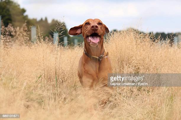 Brown Vizsla Amidst Dry Plants On Field