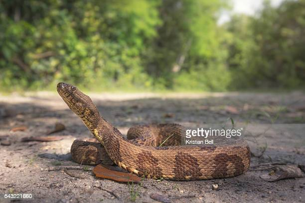 Brown Water Snake (Nerodia taxispilota)