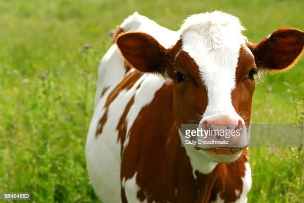Brown White Calf