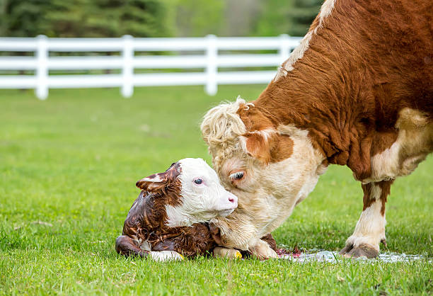 Brown & White Hereford Cow Licking Newborn Calf Wall Art