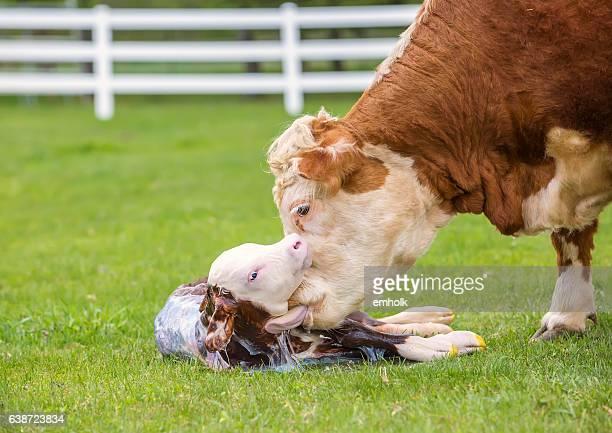 Brown & White Hereford Kuh lecken Neugeborenes Kalbsleder