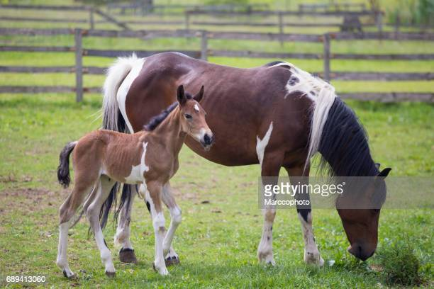 Brown white horse and foal on green enclosed pasture
