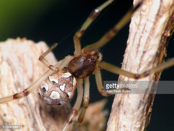 brown widow spider - sorocaba stock pictures, royalty-free photos & images