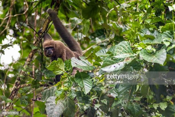 Brown woolly monkey - Chorongo