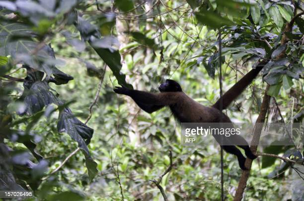 A Brown woolly monkey leaps to a liana in the Yasuni National Park Orellana province Ecuador on November 11 2012 The Yasuni National Park contains...