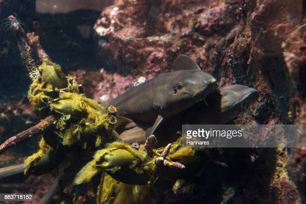 brownbanded bamboo shark - bamboo instrument stock photos and pictures