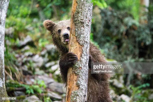 brownbear slovénie - ours brun photos et images de collection