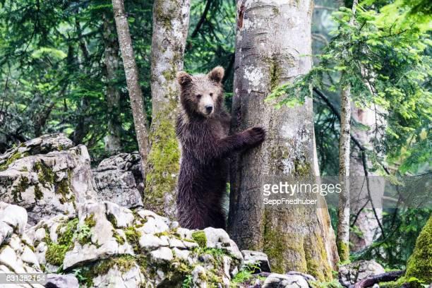 orso bruno slovenia - slovenia foto e immagini stock