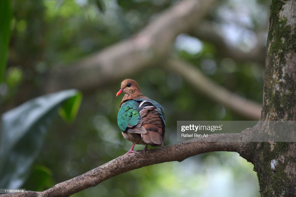 Brown-capped Emerald-Dove : Stock Photo