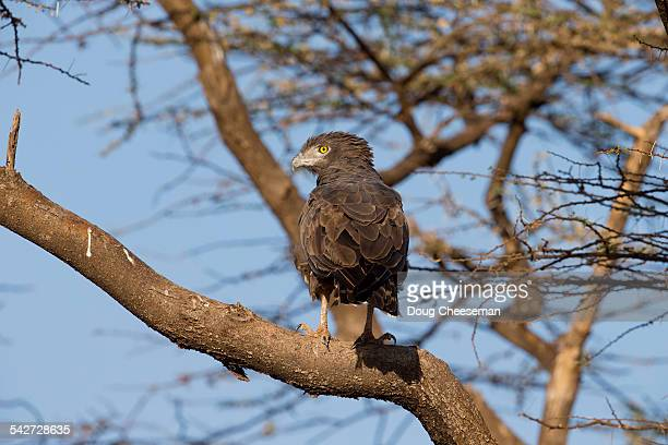 brown-chested snake-eagle - black chested snake eagle stock pictures, royalty-free photos & images
