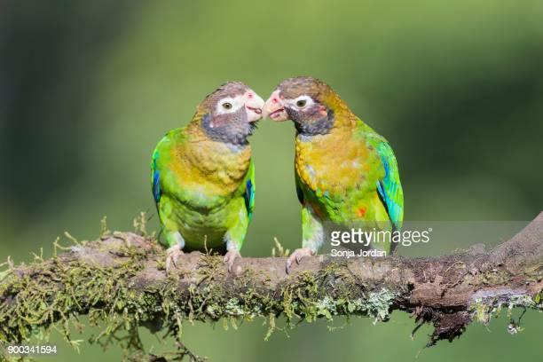 brown-hooded parrots (pyrilia haematotis) sitting on branch, bill and coo, province of alajuela, san carlos, boca tapada, costa rica - coo bildbanksfoton och bilder