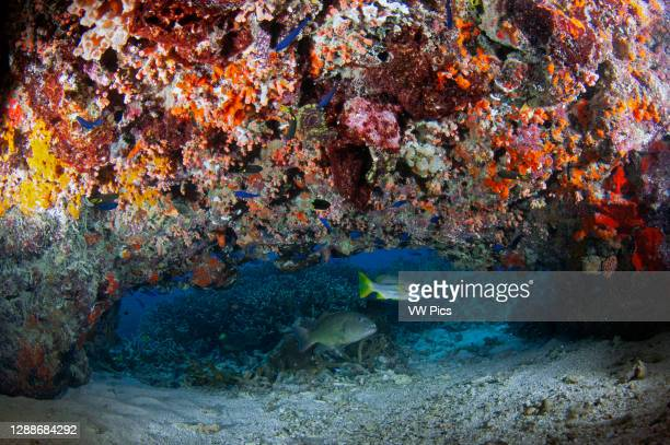 Brown-spotted coral grouper, Epinephelus chlorostigma, and brownstripe snapper, Lutjanus vitta, under a colorful overhang with sponges, ascidians and...