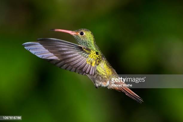 brown-tailed hummingbird (amazilia tzacatl), flying, rainforest, cloud forest, northwestern ecuador, ecuador - braunschwanzamazilie stock-fotos und bilder