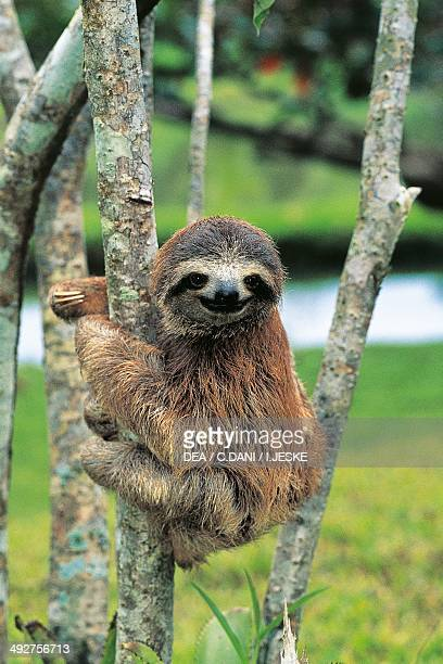 Brownthroated sloth Bradypodidae