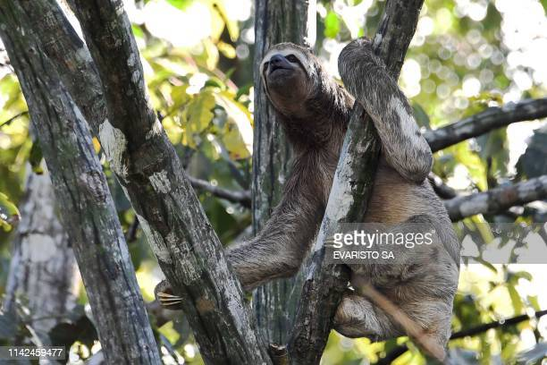 Brown-throated sloth is pictured climbed on a tree over the Jaraua River at the Mamiraua Reserve, Brazil's largest protected area, in Amazonas State,...