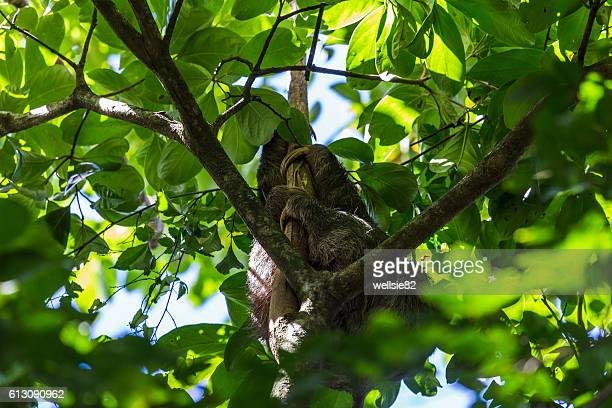 Brown-throated sloth sleeping in a tree