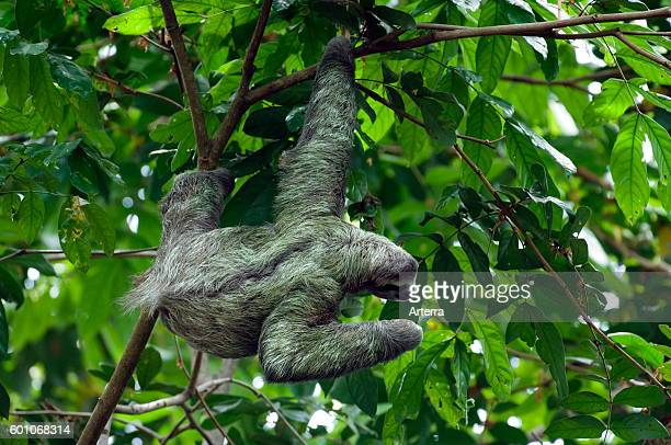 Brownthroated sloth / threetoed sloth foraging in tree Central America