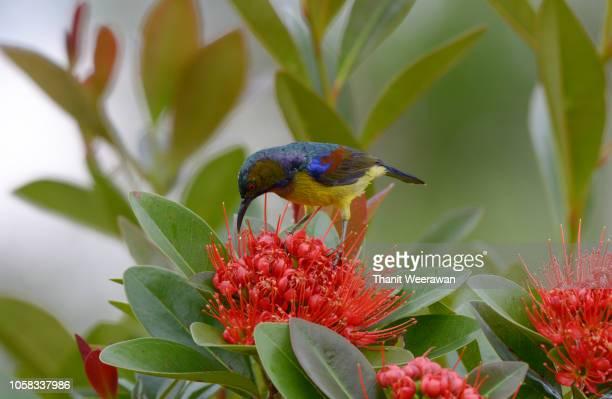 Brown-throated sunbird enjoy with sweet on flower