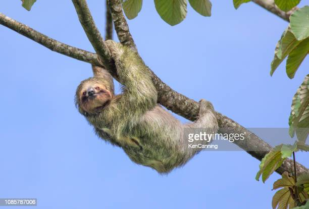 brown-throated three-toed sloth, costa rica - three toed sloth stock pictures, royalty-free photos & images