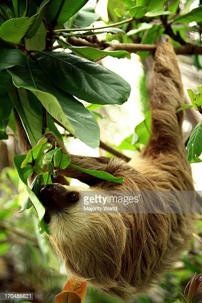 A Brownthroated threetoed sloth in Costa Rica May 5 2005 This mammal is classified within the Bradypodidae family and is one of only four species of...